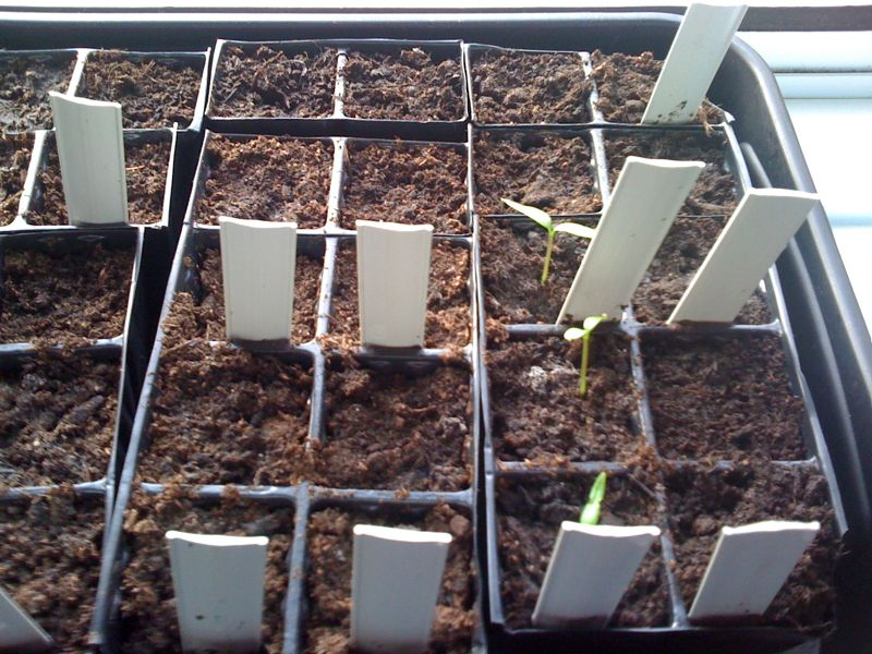 couple more chilli seedlings