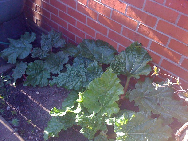 more rhubarb