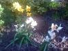 daffodils in flower