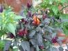 Chillis ripening
