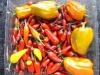 medium chilli harvest