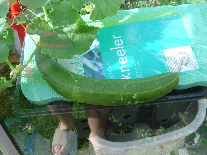 Good size cucumber
