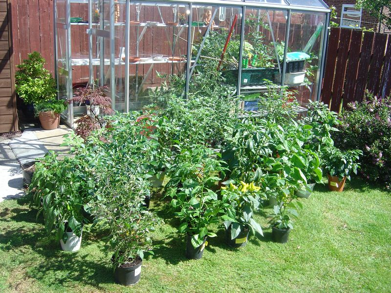 Chilli plants outside in the sun