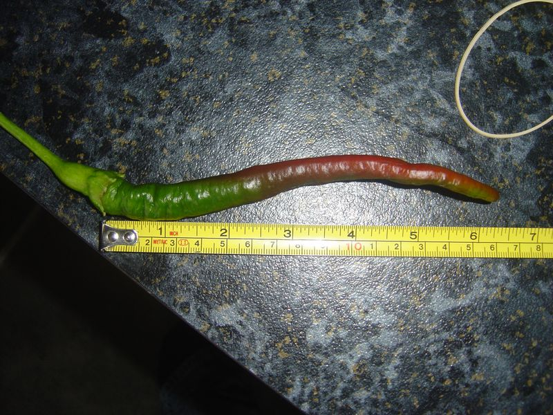 Whippets tail chilli