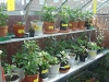 Chillis in the green house early season