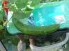 Good size cucumber