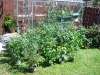 Chilli plants outside in the sun