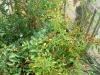 bolivian rainbow chilli bushes