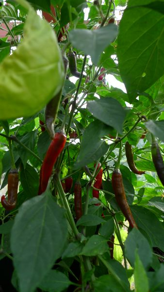 chillis ripening in the greenhouse