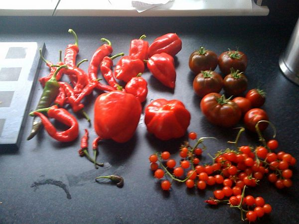 chilli, pepper and tomato harvest