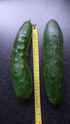Cucumbers rescued from the floods