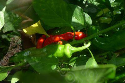 Ripening chilli
