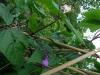 Purple bean plant
