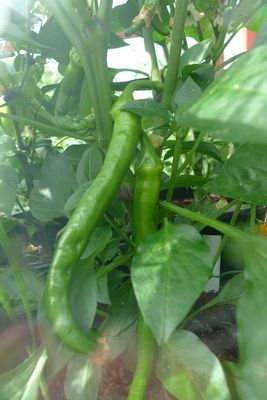 Golden Cayenne chilli