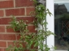Upside down tomato planter