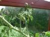 hawiian currant tomatoes