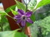 Purple chilli flower