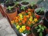 marigolds and chillis