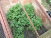 strawberries in the cold frame