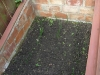 red onions in the cold frame