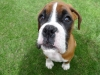 alfie the boxer dog