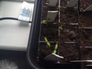 chillis have germinated
