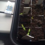 First chillis have germinated