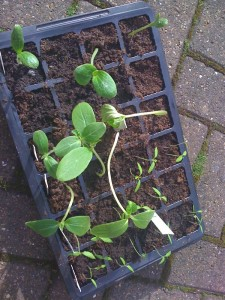 cucumber and tomato seedlings
