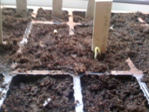 first sprouting seeds