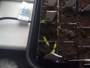 chillis have germinated