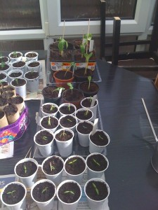 successfully repotted seedlings