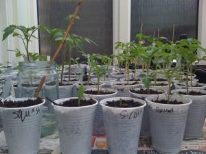 chilli seedling jungle